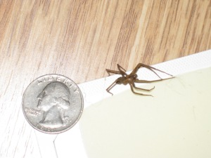 quarter-sized brown recluse spider