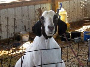 fat, friendly goat