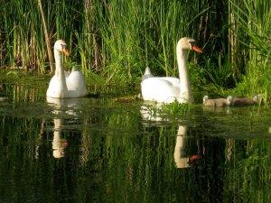 a family of swans on Wilanowski Lake